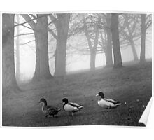 Three Ducks in the Morning Mist, Northamptonshire, England Poster