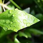 Leaf with Morning Dew by PaperRosePhoto