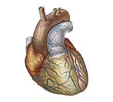 Anatomically correct heart Photographic Print