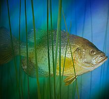 Black Crappie Fish No. 0155 by Randall Nyhof