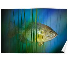 Black Crappie Fish No. 0155 Poster