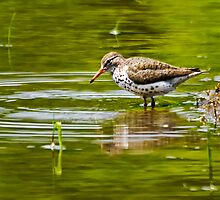 Spotted Sandpiper by Kathy Weaver