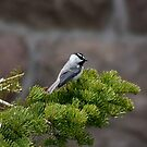 Black-capped Chickadee by ZWC Photography