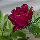 Painted Peony by greyrose