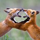 Fox kits at play by amontanaview