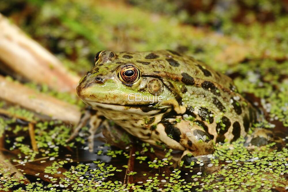 Marsh Frog by CBoyle