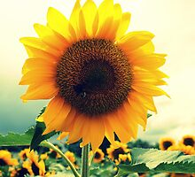 Sunflower Days by Dorothy Manuel