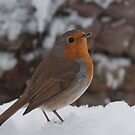 Snow Robin. by Delboy10