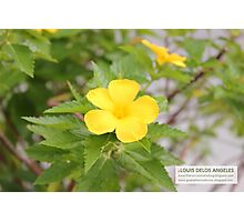 Yellow Bells Photographic Print