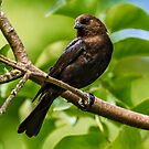 MALE BROWN-HEADED COWBIRD by Sandy Stewart