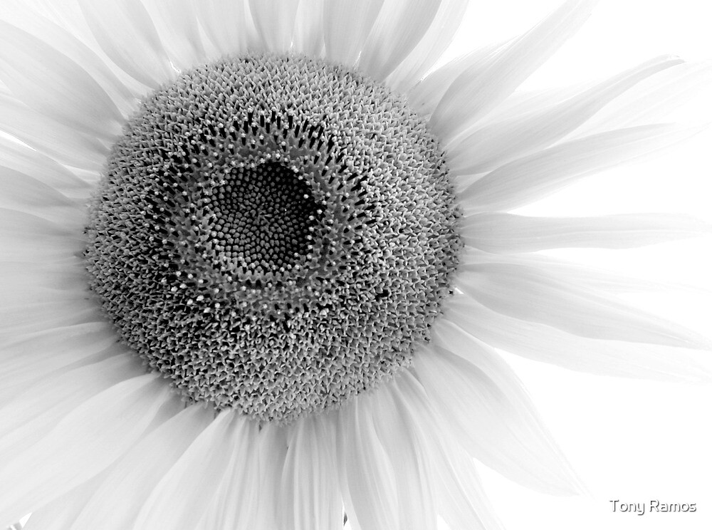Light Sunflower by Tony Ramos