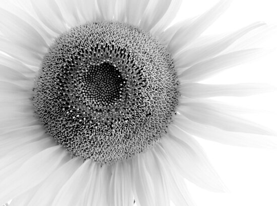 Light Sunflower by Tony Ramos
