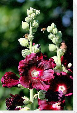 Hollyhock by Larry Baker