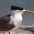 Crested Tern by Kerryn Ryan, Mosaic Avenues