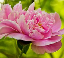 Big Pink Peony by Megan Noble