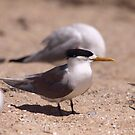 Crested Tern 4 by Kerryn Ryan, Mosaic Avenues