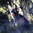Curious kangy by geophotographic