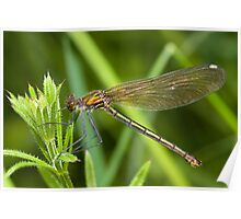 Willow Emerald Damselfly Poster