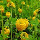 Hop Clover - Trifolium agrarium by Digitalbcon