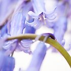 Bluebell Abstract IV by Anne Gilbert