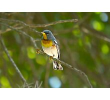 Northern Parula Photographic Print