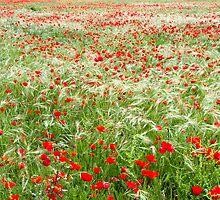 Poppy fields by Jessy Willemse