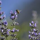 Bee on Lavender 5 by marcum502