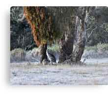 Kangaroos of Hill End NSW Australia Metal Print