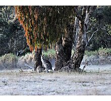 Kangaroos of Hill End NSW Australia Photographic Print