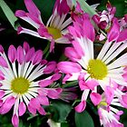 Gentle two-colored daisies by Ana Belaj
