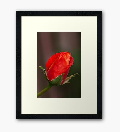 New Rose Framed Print