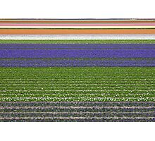 Colorful fields of tulips and hyacinth in Netherland. Photographic Print