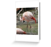 Chilean Flamingo Preening Greeting Card