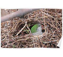 Quaker/Monk Parakeet Building Nest Poster