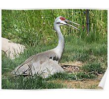 Sandhill Crane guarding nest Poster