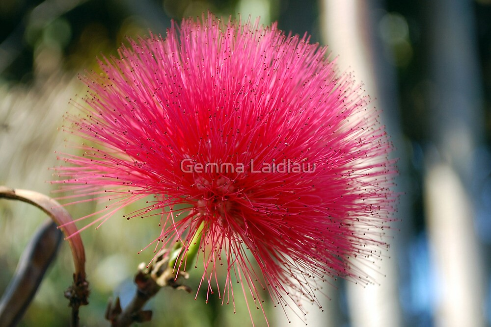 Prickly pink by Llawphotography