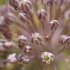 Allium by marens