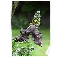 Poplar Hawk-Moth Poster