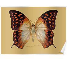 Charaxes Varanes Varanes Butterfly Poster