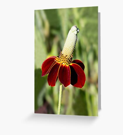 Mexican Hat Flower Greeting Card