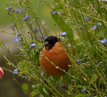 Bullfinch male by Jon Lees