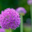 Perfect Purple by ColinKemp