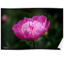 the peonies of Gilsland Farm Poster