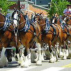 Clydesdale Horses - Eight Horse Hitch by MaryinMaine