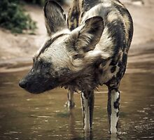 African Wild Dog by John Conway