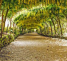 Laburnum Arch by David Rothwell