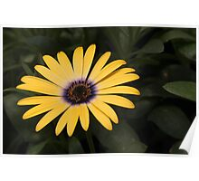 osteospermum as-is Poster