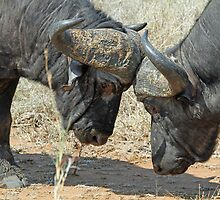 A bull fight ! by jozi1