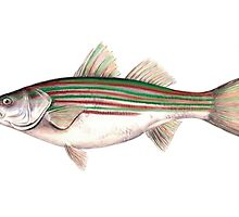 Holiday Striped Bass by Tamara Clark
