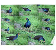 Collage of Purple Swamp hen Poster